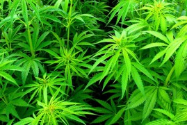 Risk of Cannabis, Overestimated in the Past