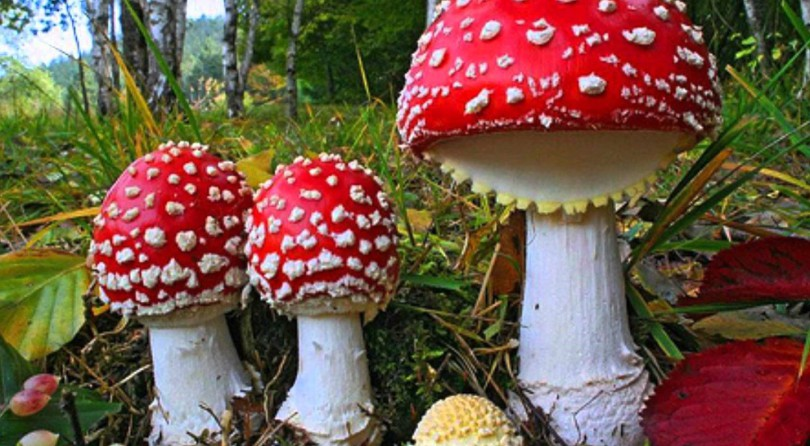 How High Can You Fly with 'Fly Agaric' (Amanita Muscaria)?