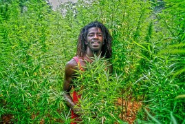 First Cannabis Plant Now Grows in a Jamaica University's Ground