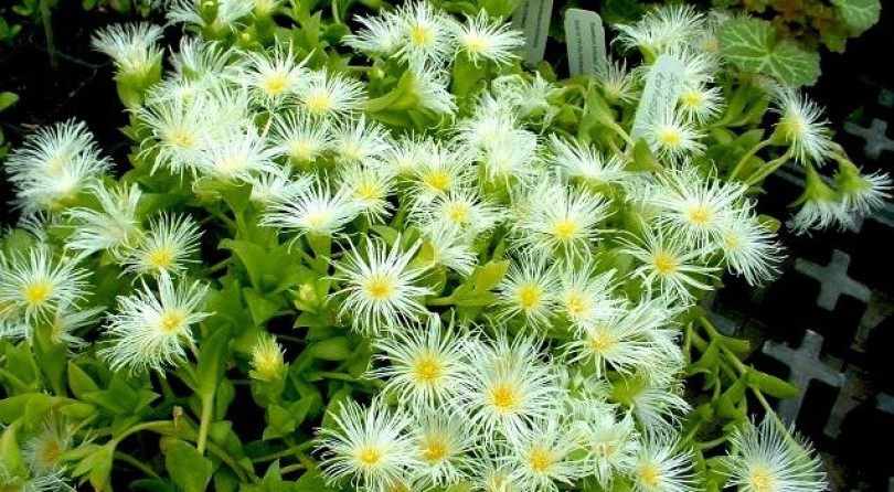 Kanna — the Mood-Altering, Happiness Herb for You