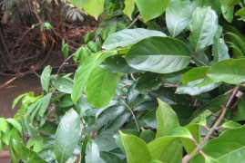 What You Should Know about Diplopterys Cabrerana