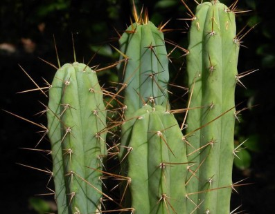 Your Basic Guide to the Bolivian Torch Cactus